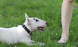 Kampfhunde wie dieser Bull Terrier sind betroffen