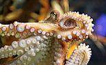 Spanier lieben den Oktopus