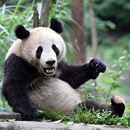 """Schönbrunner Zoo-Direktorin besuchte Panda """"Fu Long"""" in China"""
