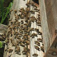 Pensionist von Bienen zu Tode gestochen