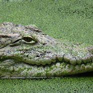 Betrunkener Australier überlebte Ritt auf Krokodil