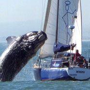 Wal krachte auf Jacht – Schrecken und Mastbruch