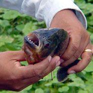 Piranha-Alarm in der Kärntner Drau