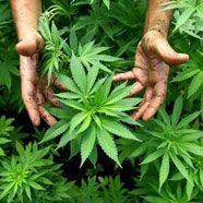 Tiroler mieteten Wohnung für Cannabisplantage an