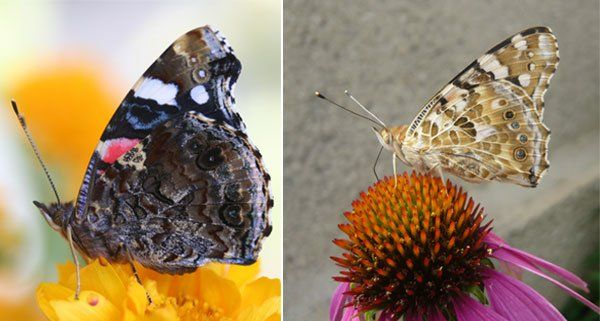In Wien heimische Schmetterlinge: etwa Admiralfalter (l.) und Distelfalter