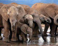 Afrika: Elefanten von Wilderei stark bedroht