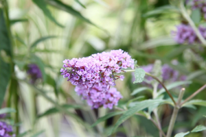 Der Buddleja im VOL.AT-Gartentipp