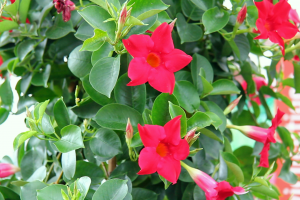 Die Dipladenia im VOL.AT-Gartentipp