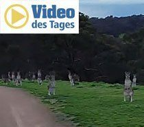 Nix Zombie-Apokalypse - Es sind die Kängurus!