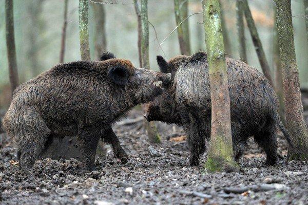 Toskana will 250.000 Wildschweine töten – Proteste