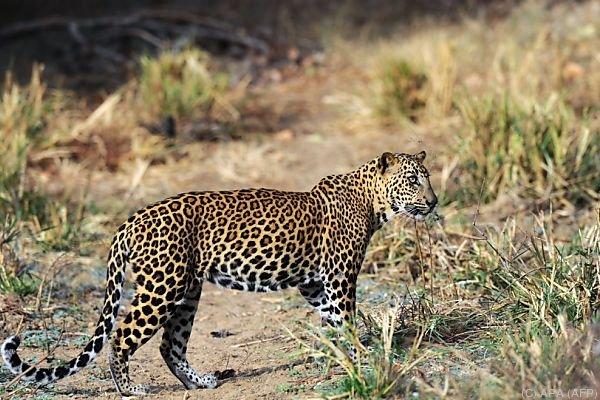 Angst vor Leoparden in Bangalore