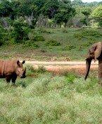 Kenia verbrennt 100 Tonnen Elfenbein zum Schutz von Elefanten