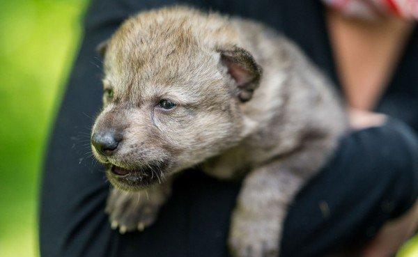Einer der in Wien-Schwechat gelandeten Babywölfe.