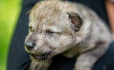 """""""Nachwuchs"""" für die Wolfsforschung in Wien"""