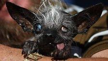 """Das ist der """"hässlichste Hund der Welt"""""""