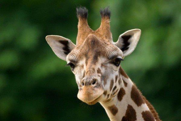 Die Schönbrunner Giraffen erhalten in Kürze eine neue Bleibe