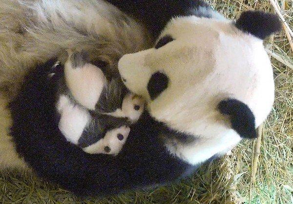 Der Panda-Nachwuchs in Schönbrunn bereitet Freude.