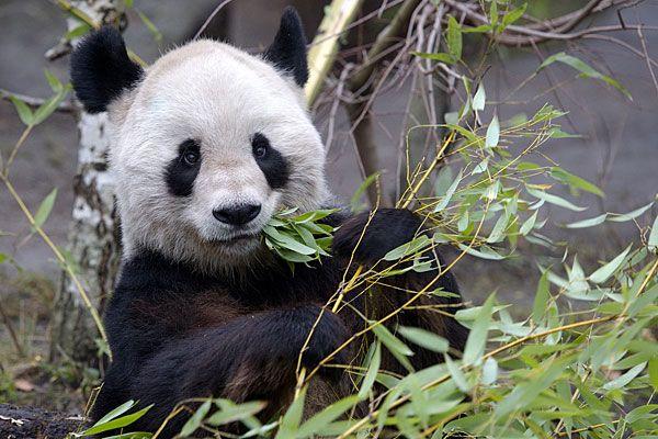 Abschied von Panda-Männchen Long Hui.