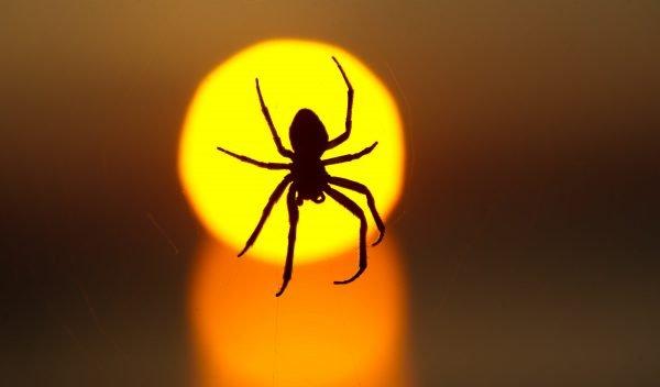 Kann eine Spinne das Einsaugen überleben?