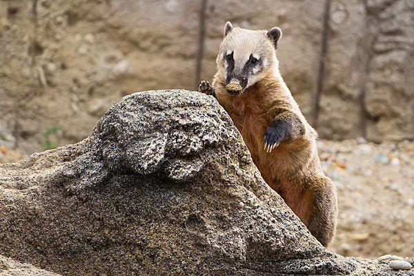 Droht den Nasenbären, die erst kürzlich ein neues Gehege bezogen, das Aus?