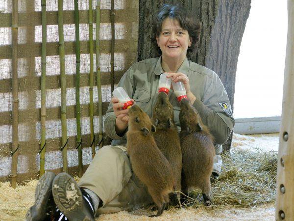 Das Wasserschwein-Trio wird von Tierpflegerin Daniela Peraus gefüttert