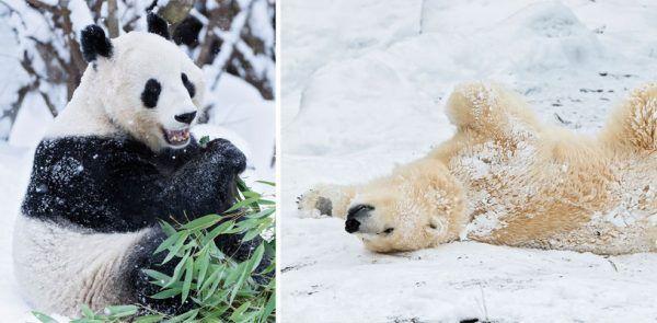 Eisbären und Pandas haben ihren Spaß im Schnee