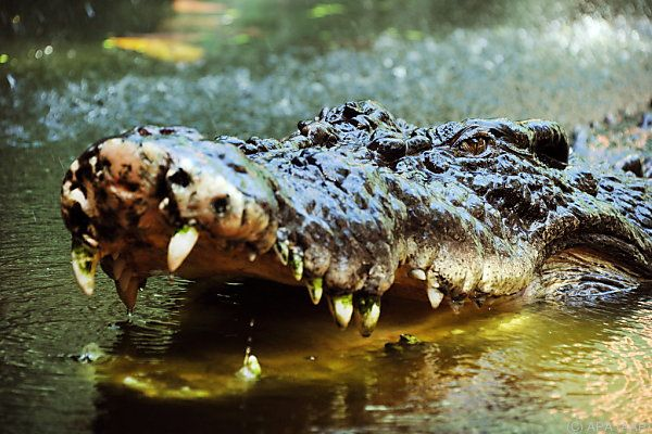 Krokodile gelten als gefährliche Tiere