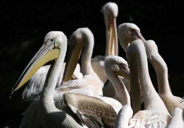 Die ganze Pelikangruppe im Tiergarten Schönbrunn musste eingeschläfert werden.