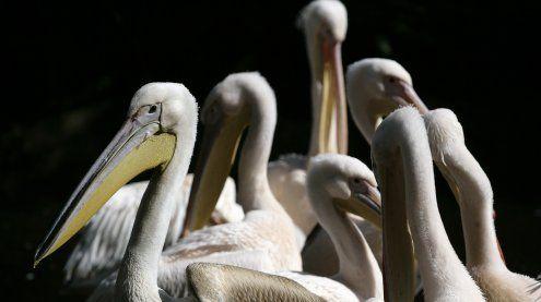 Tiergarten schläferte Pelikane ein