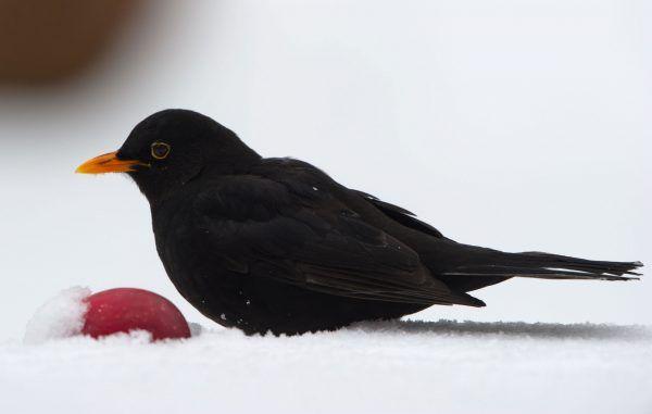 Nahrungsangebot und Mikroklima in städtischen Parks kommt vielen Vogelarten zugute
