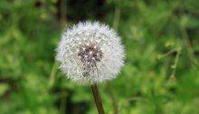 So wird die heurige Pollensaison in Österreich