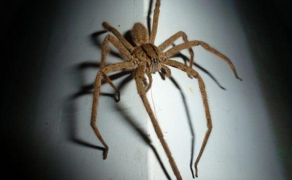 Mit gewissen Tricks kann man Spinnen fernhalten.