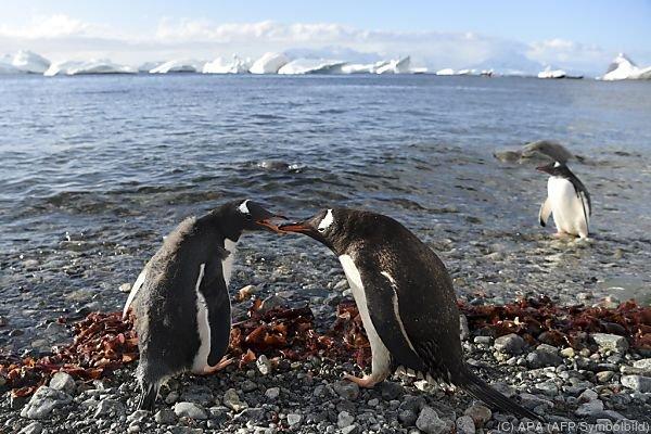 Mehrere Pinguinarten gelten als bedroht