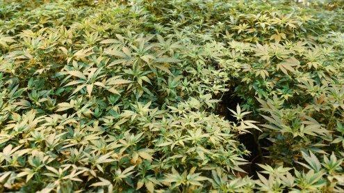 Bei der Cannabisernte verletzt: Polizei entdeckt Indoor-Anlagen