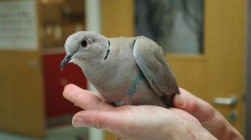 Taube mit Plastiksack gefesselt