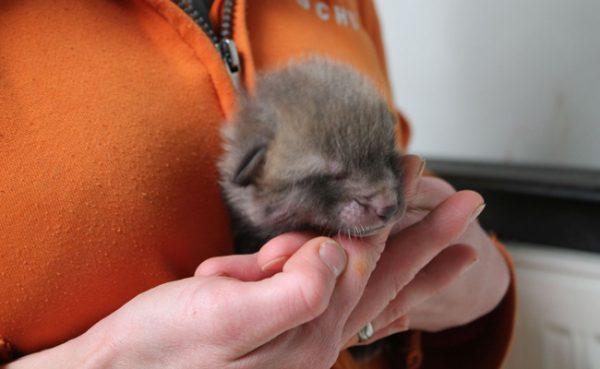 Der Wiener Tierschutzverein kümmert sich um den Babyfuchs.