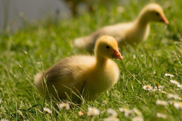 40 Enten werden derzeit im Tierschutzhaus Vösendorf versorgt.