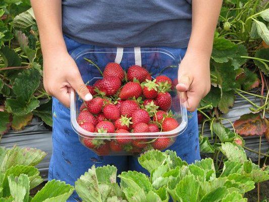 Erdbeeren Selber Pflücken Frankfurt
