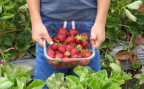 In und um Wien können Erdbeeren selbst geerntet werden.