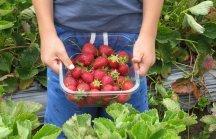 Erdbeeren selber pflücken: Erntefelder in & um Wien