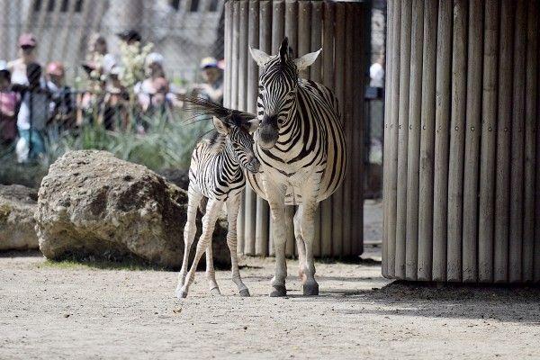 Ein Zebra-Fohlen hat im Tiergarten Schönbrunn das Licht der Welt erblickt.