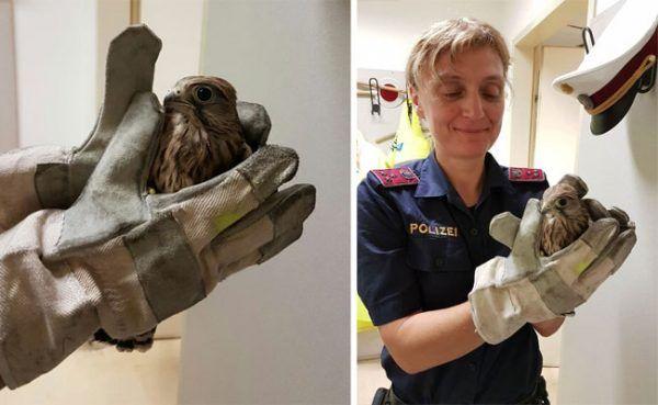Der kleine Turmfalke (Falco tinnunculus) und seine Retterin