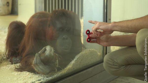 Fidget-Spinner-Hype erreicht auch Orang-Utans