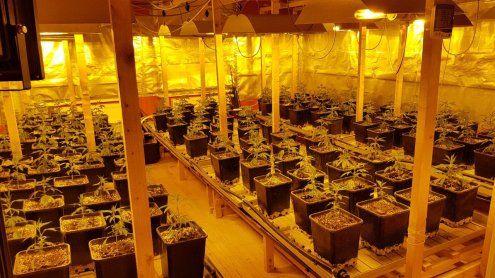 Indoor-Hanfplantage ausgehoben