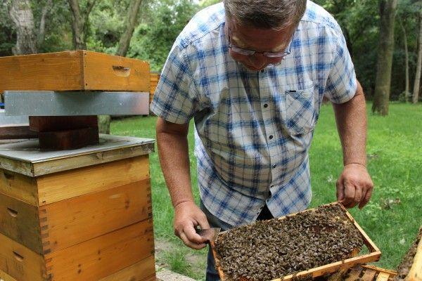 Imker Albert Schittenhelm wagt sich ohne Schutzanzug zu den Bienen.