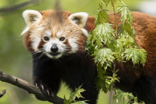 Die Roten Pandas werden in Schönbrunn gefeiert