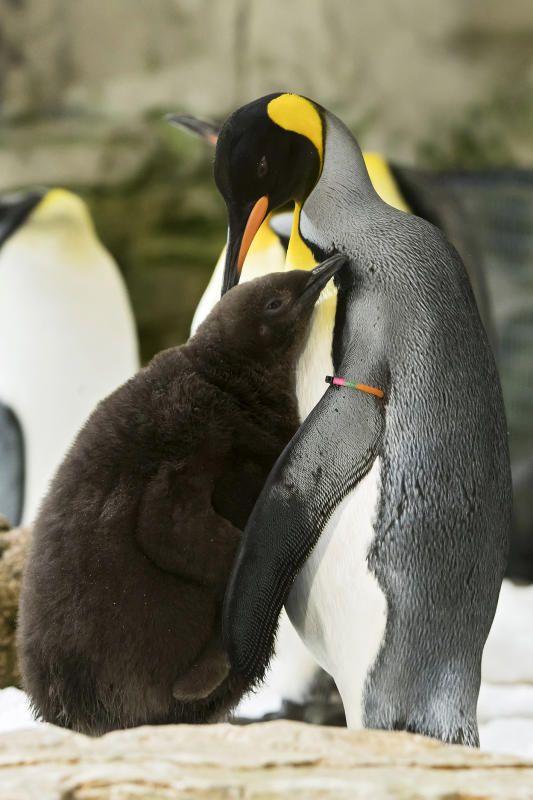 Das Pinguinküken sieht aus wie ein brauner, flauschiger Ball.