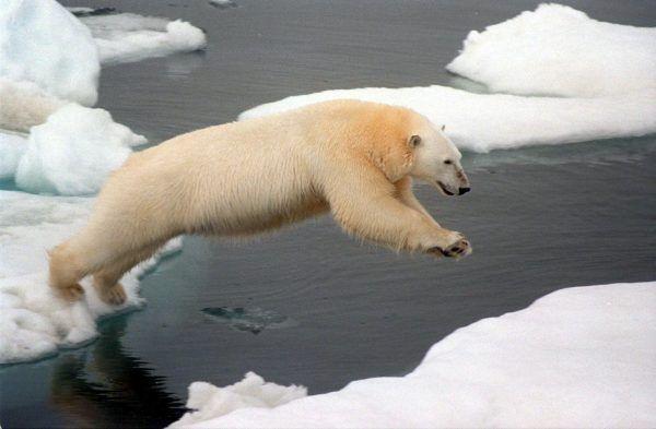 Auch Eisbären freuen sich nicht über den Klimawandel.