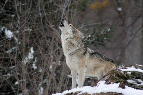 Viele sehen Wölfe und Co. als wesentlichen Bestandteil der Natur
