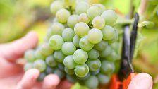 Gesamt-Weinproduktion historisch niedrig